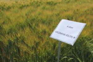 Hulless Barley 4