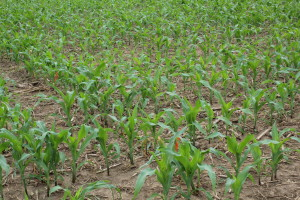 Corn Treatment Plot