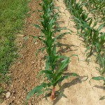 APD 1st Choice Corn Plot 3