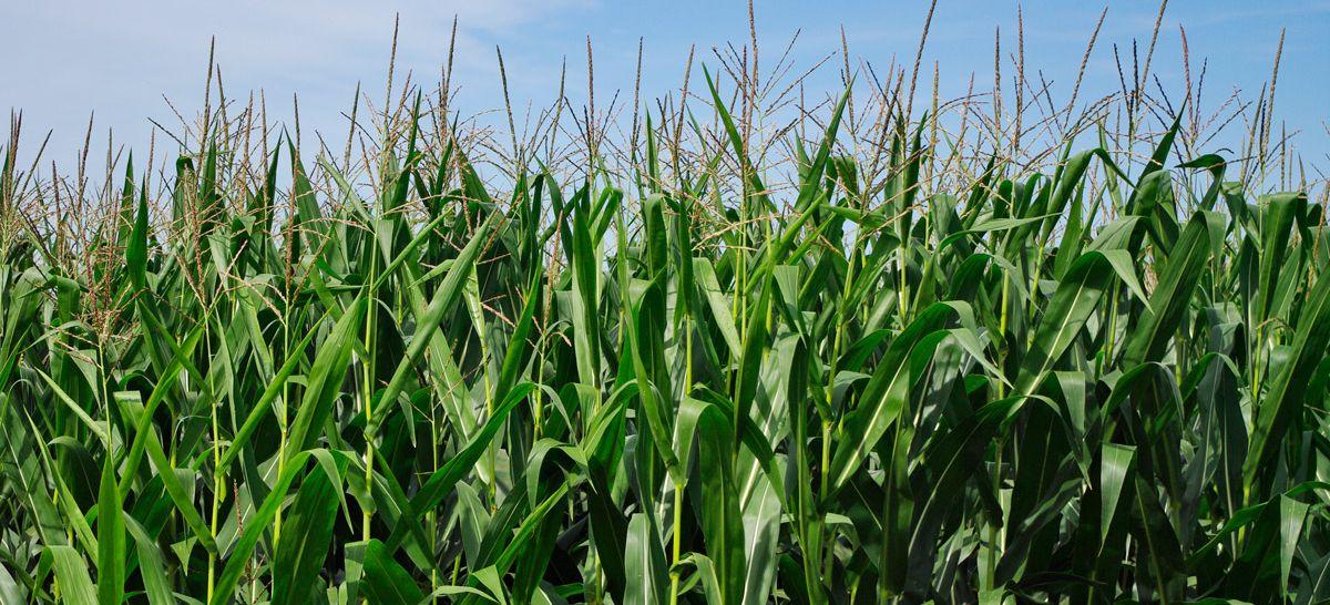 corn-1200