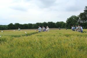 Hulless Barley 1