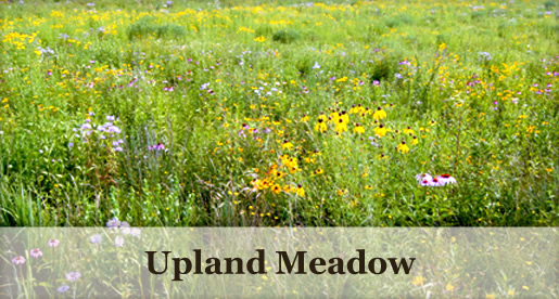 Upland Meadow