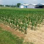 APD 1st Choice Corn Plot 2