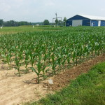 APD 1st Choice Corn Plot 1